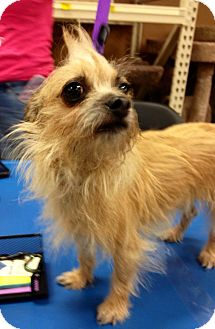Yorkie, Yorkshire Terrier/Chihuahua Mix Dog for adoption in Silsbee, Texas - Gidget