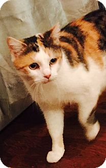 Domestic Shorthair Cat for adoption in Ronkonkoma, New York - Polly