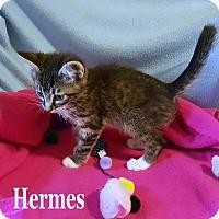 Adopt A Pet :: Hermes - Bentonville, AR