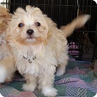 Adopt A Pet :: Blondie-ADOPTION PENDING - Bridgeton, MO