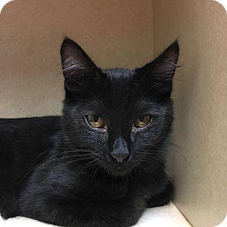 Domestic Shorthair Kitten for adoption in Westminster, California - Fjord