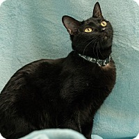 Domestic Shorthair Cat for adoption in Houston, Texas - Chutney