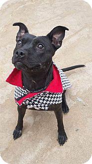 Pit Bull Terrier Mix Dog for adoption in Wichita, Kansas - Leila