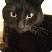 Bombay Cat for adoption in Edgewater, New Jersey - Noor
