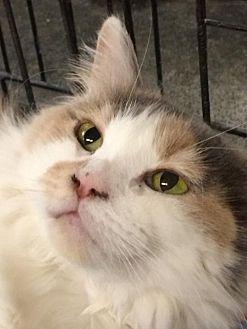 Calico Cat for adoption in Amarillo, Texas - Sammie