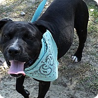 Adopt A Pet :: Gatsby - Staunton, VA