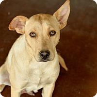Adopt A Pet :: Nacho Mama - San Antonio, TX