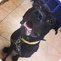 Adopt A Pet :: Bruce Wayne - Reisterstown, MD