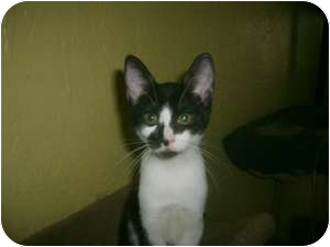 Domestic Shorthair Cat for adoption in Ft. Lauderdale, Florida - Amelia
