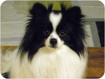 Pomeranian Dog for adoption in Hesperus, Colorado - ROMEO