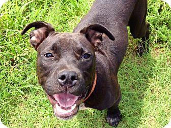 Pit Bull Terrier Dog for adoption in Snellville, Georgia - KoKo