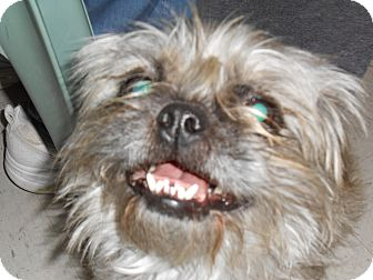Brussels Griffon/Pug Mix Dog for adoption in Lockhart, Texas - Dori