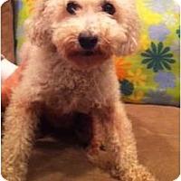 Adopt A Pet :: Lottie - Oceanside, CA