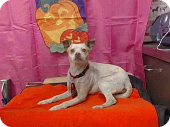 Chihuahua Mix Dog for adoption in San Bernardino, California - TODAY! URGENT 10/13 (ALPHIE)