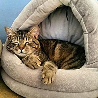 Adopt A Pet :: Missy - Memphis, TN