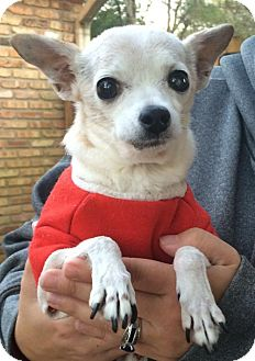 Chihuahua Dog for adoption in Lafayette, Louisiana - Cutie Pie