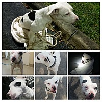Adopt A Pet :: Chancey - Hialeah, FL