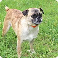 Pug Dog for adoption in Washington, D.C. - HARVEY