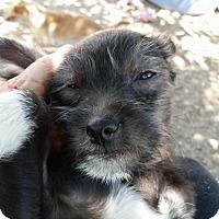 Adopt A Pet :: Jupiter - Tucson, AZ