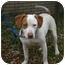 Photo 2 - Hound (Unknown Type)/Terrier (Unknown Type, Medium) Mix Dog for adoption in Kingwood, Texas - Jasper