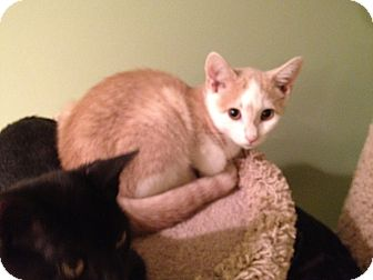 Domestic Shorthair Cat for adoption in East Hanover, New Jersey - Tanner