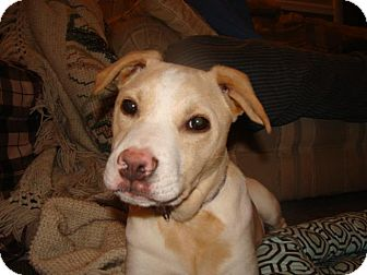 Border Collie/American Staffordshire Terrier Mix Puppy for adoption in New Boston, New Hampshire - Cassie