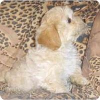 Adopt A Pet :: LuLu - Toronto/Etobicoke/GTA, ON