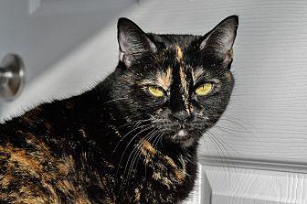 Domestic Mediumhair Cat for adoption in Hanna City, Illinois - Pumpkin