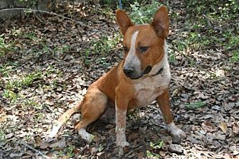 Australian Cattle Dog Mix Dog for adoption in Pipe Creek, Texas - Leo