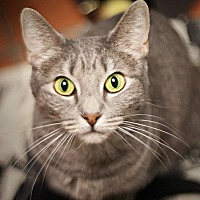 Domestic Shorthair Cat for adoption in Los Angeles, California - G.G.