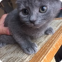 Adopt A Pet :: Chanel (bottle fed) - Sterling Hgts, MI