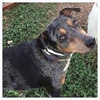 Adopt A Pet :: Hazel - Comanche, TX