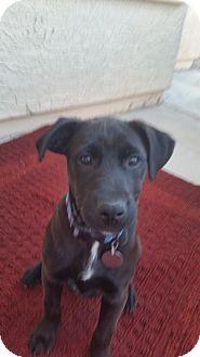 Labrador Retriever Mix Puppy for adoption in Phoenix, Arizona - Olivia
