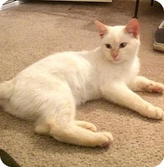 Domestic Shorthair Kitten for adoption in Seneca, South Carolina - C Jay $75
