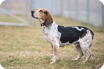 Beagle Dog for adoption in Mechanicsburg, Ohio - Auggie