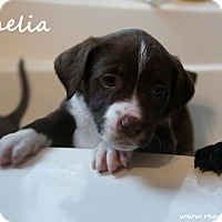 Adopt A Pet :: Ophelia - Rockwall, TX