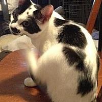 Domestic Shorthair Kitten for adoption in Miami, Florida - Perdita