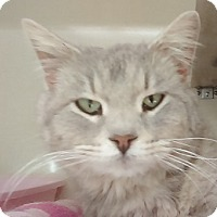 Adopt A Pet :: Amelia -- SUPER SOFT, EXOTIC LOOKING - Hillside, IL