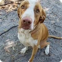 Adopt A Pet :: Maggie - Umatilla, FL