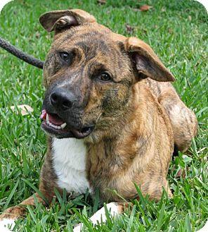 Basenji Mix Dog for adoption in Orlando, Florida - Sox