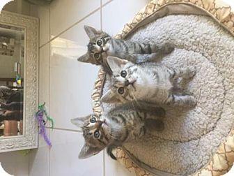 Domestic Mediumhair Kitten for adoption in Fort Lauderdale, Florida - ALPHABET KITTIES