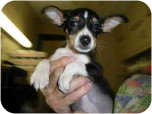 Terrier mix puppies in indiana