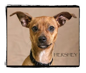 Chihuahua Puppy for adoption in Warren, Pennsylvania - Hershey