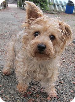 Yorkie, Yorkshire Terrier Mix Dog for adoption in Forked River, New Jersey - Lola