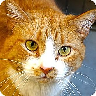 Domestic Shorthair Cat for adoption in Sprakers, New York - Donny