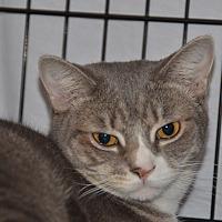 Bengal Cat for adoption in Taftville, Connecticut - Debra