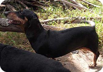 Dachshund Dog for adoption in Jacksonville, Florida - Flurry