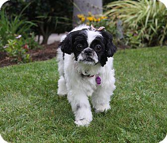 Shih Tzu/Pekingese Mix Dog for adoption in Newport Beach, California - AURORA