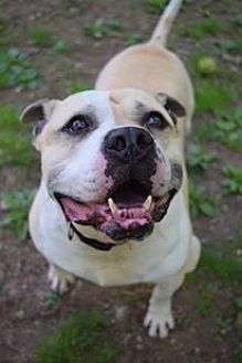 American Pit Bull Terrier Mix Dog for adoption in Ozone Park, New York - KC