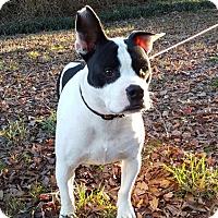 Adopt A Pet :: Noche - Alpharetta, GA